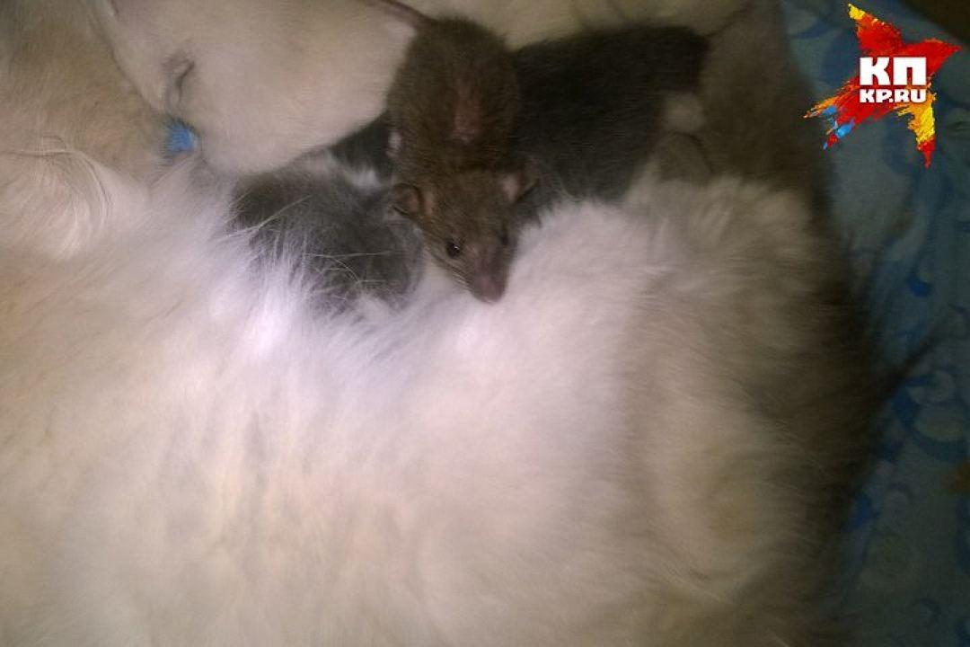 Кошка усыновила крысенка
